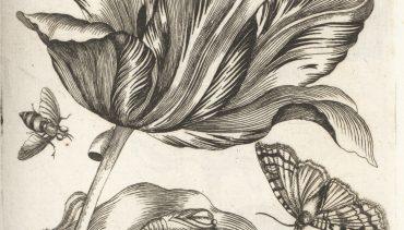 vol_1_Tulipa_purpurea_p2
